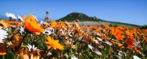 Namaqua wild flowers